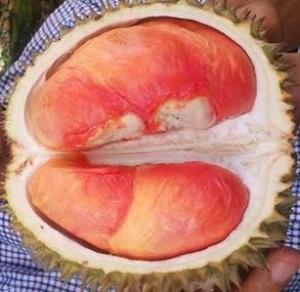 Durian Pelangi papua, www.jualbibitdurian.com Bp.H Tovix 0813 2711 9234 Pin 24d2 7997