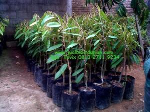 Bibit Durian Musang King, Bpk. Tovix 0813 27119234, www.jualbibitdurian.com