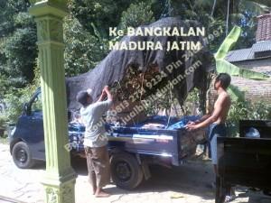 Bibit Durian Bawor jawa timur Madura www.jualbibitdurian.com