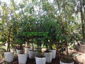 Bibit durian bawor 1,5m www.jualbibitdurian.com