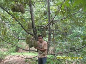 pohon durian bhineka bawor, www.jualbibitdurain.com