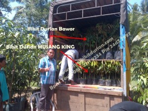 Bibit Durian Musang King Pekanbaru, Bp.H Tovix 0813 2711 9234 Pin 24d2 7997
