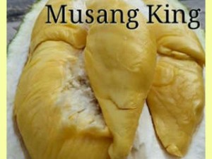 durian musang king, bibit durian musang king.