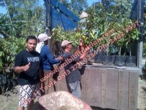 bibit durian musang king, bibit durian pelangi, bibit durian musang king asli, www.jualbibitdurian.com bp. H Tovix 0813 2711 9234