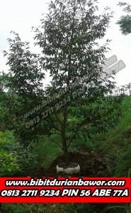 Bibit Durian Siap Buah, Pohon Durian Siap Buah, Jual Bibit Durian Siap Buah, www.bibitdurianbawor.com