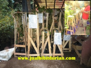 bibit durian bawor, www.jualbibitdurian.com
