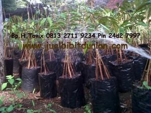 Bibit Durian Bawor kaki 5