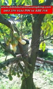 Bibit Durian Musang King Asli, 0813 2711 9234