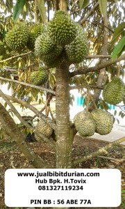 jualbibitdurian, durian musangking, durian bawor, durian bawor banyumas, buah durian bawor
