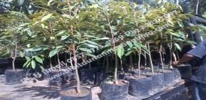 bibitdurianmusangking asli, bibit durian musang king murah, bibit durian musangking trubus, Bp.H Ismail 0857 4775 4569