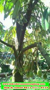 jual-bibit-durian-musang-king-di-surabaya-jual-bibit-durian-musang-king-di-jakartajual-bibit-durian-musang-king-di-bogor-daftar-harga-bibit-durian-musang-king
