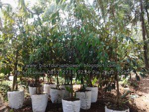bibit-durian-bawor-15m-www-jualbibitdurian-com