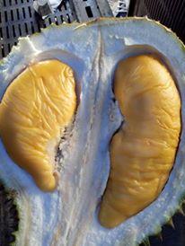bibit-durian-musang-king-asli-harga-bibit-pohon-durian-musang-king-harga-bibit-durian-musang-king-harga-bibit-durian-musang-king-kaki-tiga