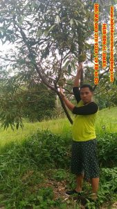 bibit durian musang king magelang
