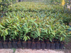 bibit-durian