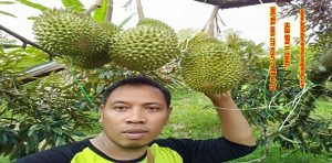 bibit durian musang king magelang
