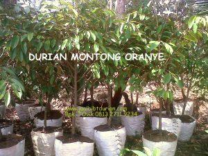 Durian Montong Oranye, www.jualbibitdurian.com, Bp.Tovix 0813 2711 9234