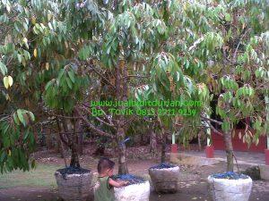 Bibit Durian Bhineka Bawor, siap buah, Bpk Tovik 0813 2711 9234, www.jualbibitdurian.com