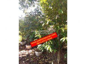 Bibit Durian Musang King Kebumen 2m up