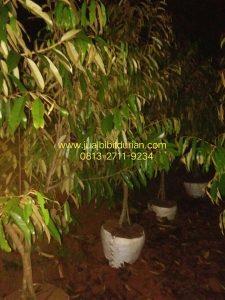 Bibit Durian Musang King siap buah