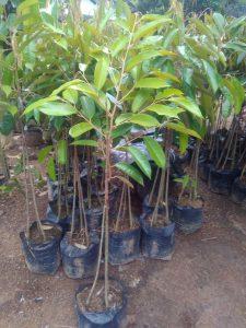 Bibit Durian Duri hitam 0813 2711 9234 www.jualbibitdurian.com