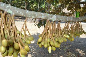 Bungan Pohon Durian www.jualbibitdurian.com