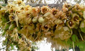 Cara-Mengatasi-Bunga-Rontok pada durian. www.jualbibitdurian.com