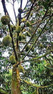 Cara tanam durian, jarak tanam, www.jualbibitdurian.com