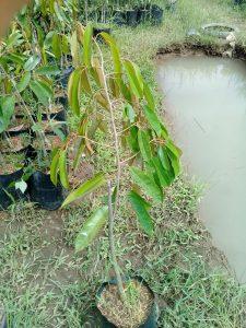 bibit durian pelangi 70cm