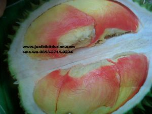 durian pelangi watermark