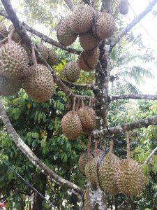 jual bibit durian bawor H tovix