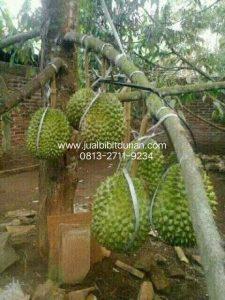 pohon durian bawor berbuah