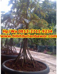 HpWa 0813-2711-9234, Durian Bawor Pak Sarno, Bibit Durian Bawor Aceh.jpg