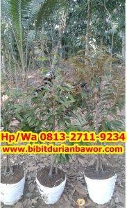 HpWa 0813-2711-9234, Durian Montong, Bibit Durian Bawor.jpg