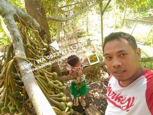 Wa 0813-2711-9234, Durian Bawor Raksasa, Pohon Durian Bawor Berbuah