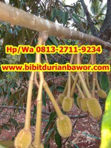 HpWa 0813-2711-9234, Bibit Durian Bawor, Ciri Bibit Durian Bawor.jpg
