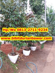 HpWa 0813-2711-9234, Bibit Durian Bawor Banyumas, Bibit Durian Bawor Di Jakarta.jpg