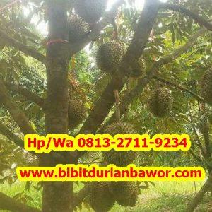 HpWa 0813-2711-9234, Jual Bibit Durian Bawor, Bibit Durian Bawor Bantul Daerah Istimewa Yogyakarta 55791.jpg