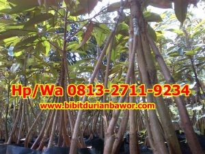 HpWa 0813-2711-9234, Durian Montong Bawor, Bibit Durian Bawor Asli.jpg