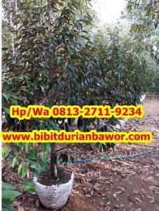 HpWa 0813-2711-9234, Harga Bibit Durian Bawor, Bibit Durian Bawor Di Jogja.jpg