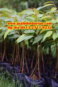 HpWa 0813-2711-9234, Jual Bibit Durian Bawor, Bibit Durian Bawor, Bantul .jpg