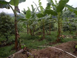 tumpangsari mutualisme pisang, pisang,pisang ambon,manfaat pisang,diet pisang,buah pisang,kandungan pisang,pohon pisang,olahan pisang ambon,olahan pi