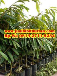 HpWa 0813-2711-9234, Jual Bibit Durian Unggul, Bibit Durian Musang King Asli, Tegal H. Tovix.JPG (3)