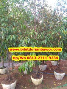 HpWa 0813-2711-9234, Jual Bibit Durian Yogyakarta H. Tovix.jpg (5)