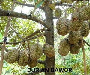 panen durian bawor