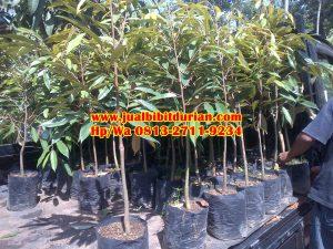 HpWa 0813-2711-9234, Jual Bibit Durian Bandung H. Tovix (5)