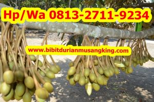 HpWa 0813-2711-9234, Jual Bibit Durian Bandung H. Tovix (7)