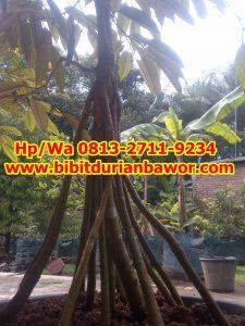 HpWa 0813-2711-9234, Jual Bibit Durian Bawor, Harga Bibit Durian Bawor, Kebumen H. Tovix.jpg (3)