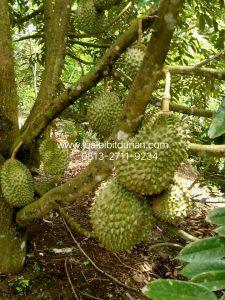 HpWa 0813-2711-9234, Jual Bibit Durian Jember H. Tovix