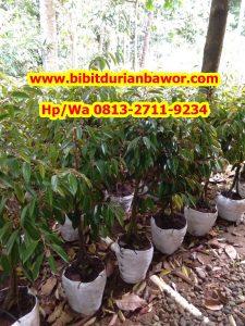 HpWa 0813-2711-9234, Jual Bibit Durian Medan H. Tovix (2)